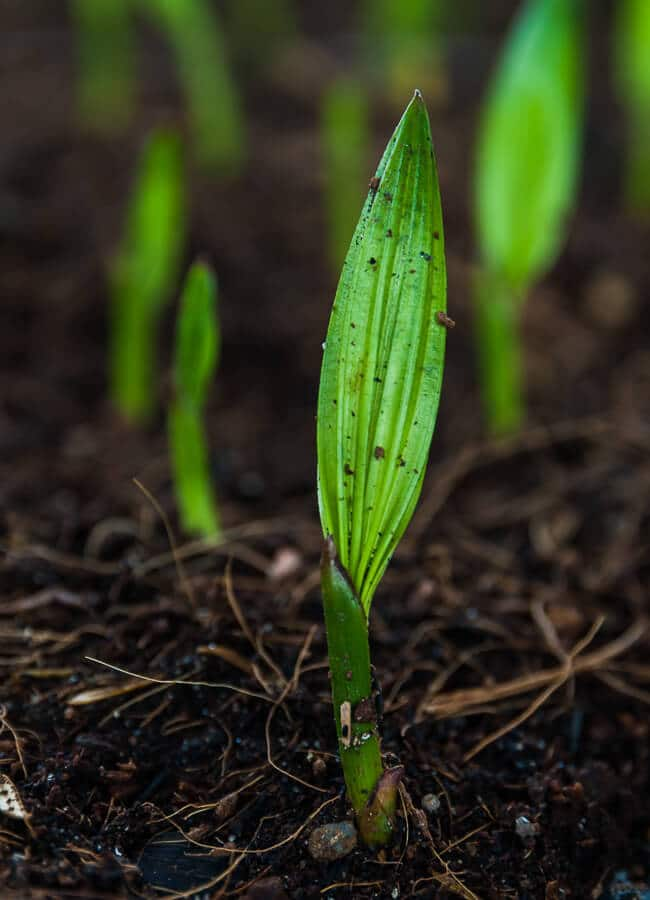 Palm oil seedlings